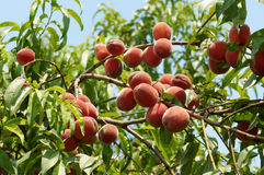 Rijpe perziken op de boom Stock Foto