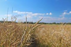 Rijpe peul van verkrachting op het gebied in de stralen van zonlicht Landbouw Landbouwgronden De oogst van olieachtige gewassen A stock fotografie