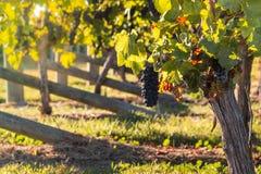 Rijpe Pinot Noirdruiven in wijngaard Stock Fotografie