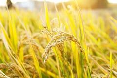 Rijpe rijst royalty-vrije stock afbeelding