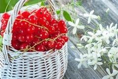 Rijpe rode aalbesbessen in een witte rieten mand op een achtergrond van kleine witte bloemen Close-up Royalty-vrije Stock Afbeeldingen
