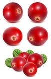 Rijpe rode Amerikaanse veenbessen met bladeren vector illustratie
