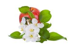 Rijpe rode appel en Apple-boom bloemen Royalty-vrije Stock Afbeeldingen