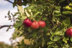 Rijpe rode appelen Stock Fotografie