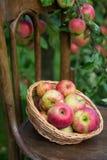 Rijpe rode appelen in een rieten plaat Stock Foto's