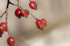 Rijpe rode die rozebottels met een zacht licht worden verlicht Vage achtergrond Herfstbehang royalty-vrije stock foto's