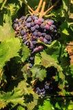 Rijpe rode donkerblauwe druiven in de tuin Stock Afbeeldingen
