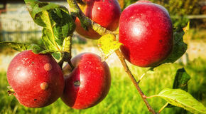 Rijpe Rode Organische Appelen Stock Fotografie