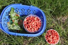 Rijpe rode wilde aardbei in een mand op een gras Royalty-vrije Stock Foto's