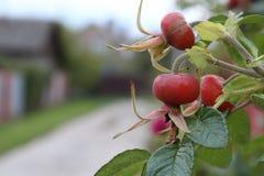Rijpe rozebottels in de herfst stock afbeeldingen