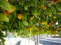 Rijpe sinaasappelen Royalty-vrije Stock Foto