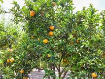 Rijpe sinaasappelen op boom in Sicilië Stock Foto's