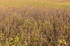 Rijpe Sojabonen klaar voor oogst stock fotografie