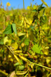Rijpe sojabonen op het gebied Royalty-vrije Stock Fotografie