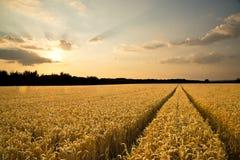 Rijpe tarwe bij zonsondergang Royalty-vrije Stock Afbeeldingen