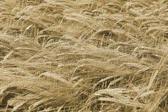Rijpe tarwe klaar voor oogst Royalty-vrije Stock Foto's