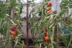 Rijpe tomaten in de serre, groenten Natuurvoeding, het groeien gezond voedsel thuis Royalty-vrije Stock Afbeelding