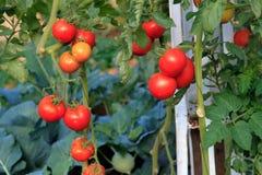 Rijpe tomaten klaar om in een serre te plukken Royalty-vrije Stock Afbeelding