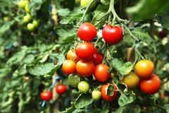 Rijpe tomaten klaar te plukken Stock Foto