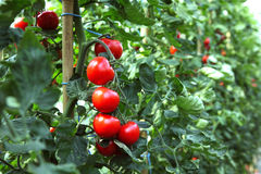 Rijpe tomaten klaar te plukken Stock Foto's