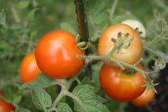 Rijpe tomaten op de wijnstok Stock Fotografie