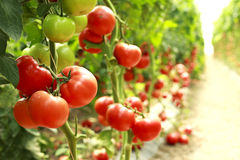 Rijpe tomaten op een tak Stock Foto's