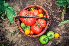 Rijpe tomaten in rieten mand Stock Foto's