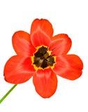 Rijpe Tulp royalty-vrije stock afbeeldingen