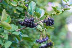 Rijpe verse vruchten van chokeberry & x28; Aronia melanocarpa& x29; Royalty-vrije Stock Foto's
