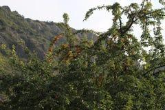Rijpe vruchten op bomen dichtbij berg stock foto's