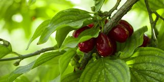 Rijpe vruchten van Cornus van Kornalijnkersen mas als achtergrond royalty-vrije stock afbeeldingen