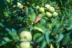 Rijpe vruchten van groene appelen op de takken van jonge appelbomen royalty-vrije stock afbeeldingen