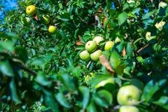 Rijpe vruchten van groene appelen op de takken van jonge appelbomen stock afbeelding