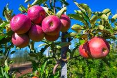 Rijpe vruchten van rode appelen op de takken van jonge appelbomen royalty-vrije stock afbeeldingen