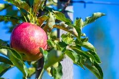 Rijpe vruchten van rode appelen op de takken van jonge appelbomen royalty-vrije stock foto's