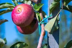 Rijpe vruchten van rode appelen op de takken van jonge appelbomen stock afbeeldingen