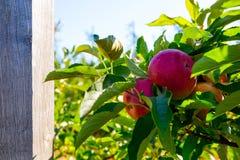 Rijpe vruchten van rode appelen op de takken van jonge appelbomen stock afbeelding