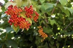 Rijpe vruchten van viburnum Royalty-vrije Stock Afbeeldingen