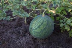 Rijpe watermeloen die op de grond liggen Stock Afbeelding