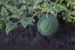 Rijpe watermeloen op een aanplanting Stock Foto