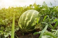Rijpe watermeloen op het gebied royalty-vrije stock afbeeldingen