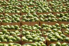 Rijpe watermeloenen die in kartondozen voor levering aan de opslag worden ingepakt voorraad stock afbeeldingen
