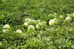 Rijpe watermeloenen op het gebied op een rij stock afbeelding