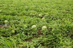 Rijpe watermeloenen op het gebied Het oogsten stock fotografie