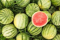 Rijpe watermeloenen op het gebied, het oogsten Besnoeiings rode watermeloen royalty-vrije stock afbeeldingen