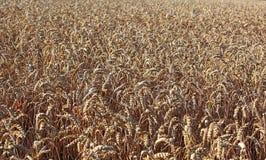 Rijpe wheatfield Stock Afbeelding