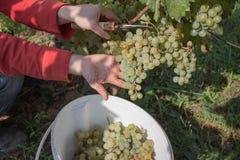 Rijpe wijndruiven en snoeischaar in landbouwers` s handen Geelgroene bos bij de zonnige ecologische wijngaarden tijdens oogst Royalty-vrije Stock Afbeeldingen