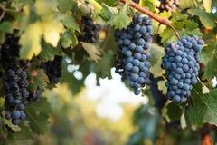 Rijpe wijndruiven op weelderige groene wijnstok Stock Foto's