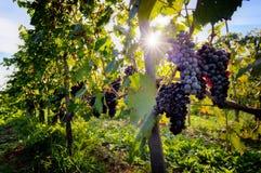 Rijpe wijndruiven op wijnstokken in Toscanië, Italië stock afbeelding