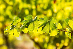 Rijpe wijngaard Royalty-vrije Stock Foto